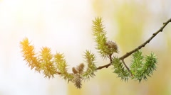 Salix triandra, with common names almond willow Stock Footage