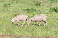 Merino sheep walking Stock Photos