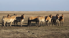 Przewalski's horse herd, wild horses Hungary Stock Footage