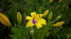 Lilium is genus of herbaceous flowering plants Stock Footage