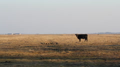 Heck Cattle Of Cow standing in the meadow, Hortobagy National Park Park Stock Footage