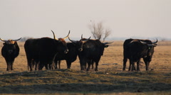 Heck Cattle Herd Of Cows standing in the meadow, Hungary Stock Footage