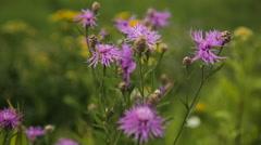 Beautiful purple wildflower Stock Footage