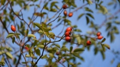 Dog rose hips swinging on the wind Stock Footage