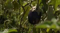 Eggplant field Stock Footage