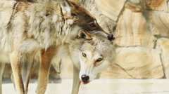 Wolfs fight in cage Stock Footage