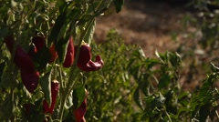 Red peppers in a field Stock Footage