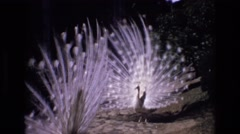 1972: beautiful peacocks with white feathers dancing opened eyes PORTUGAL Stock Footage