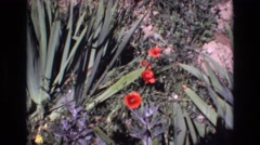 1972: bushy plant with green fleshy leaves and red flowers PORTUGAL Stock Footage