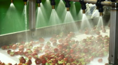 Organic Farm Product Processing. Washing Strawberries. Water Shower Pouring on Stock Footage