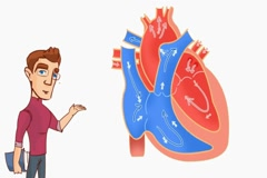 Heart Anatomy  - Vector Cartoon - White Background - student Stock Footage