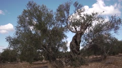 Olives growing Stock Footage
