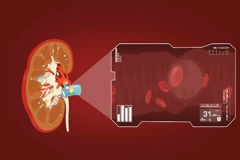 Kidney - Blood Stream - Vector Animation - Blood Circulation - Zoom Analysis  Stock Footage