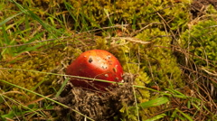 Fly Agaric Toadstool emering from moss and poneneedles Stock Footage