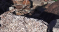 Side-blotched lizard, Death Valley NP Stock Footage