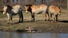 Three Przewalski's horses in the Hortobagy National Park grazing Stock Footage