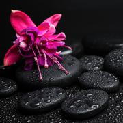 Pink with red fuchsia flower on zen stones with drops closeup Stock Photos