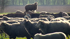 Rural Area. Herd of Sheep Grazing on the Field. Funny Animal Standing on the Stock Footage