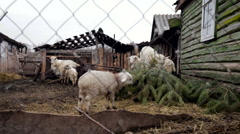 Village. Animals in the Yard. Old Wooden House. Goats and Sheep Eating Fir Tree Stock Footage