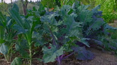 Footage in a green garden,corn,vegetables,green tomatoes Stock Footage