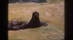 1961: seal being fed fish near shore in water takes food swims off away  Stock Footage