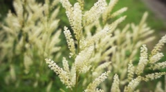 Aruncus is genus in family Rosaceae Stock Footage