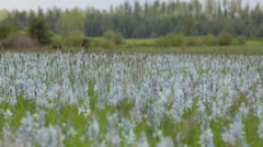 Blooming Camas Wildflowers, Nez Perce National Historic Park, Idaho. Stock Footage