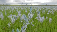 Camas wildflowers blooming on prarie, Nez Perce National Historic Park Stock Footage