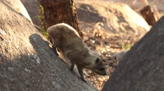 African Rock Hyrax on Granite Boulder Stock Footage