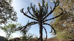 Tracking shot of a candelabra cactus tree in Matobo National Park, Zimbabwe Stock Footage