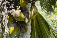 The famous Coco de Mer coconut in the botanical garden of Mahe, Seychelles Stock Photos