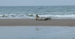 Grey seal enjoying nice weather on a beach Stock Footage