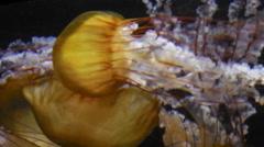 Jellyfishes in aquarium Stock Footage