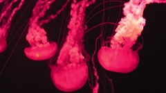 Red jellyfish swimming Stock Footage