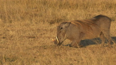 Close up of a feeding warthog in masai mara national park, kenya Stock Footage