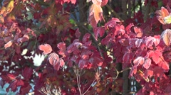 Colorful garden tree covered with rime frost crystals in autumn. Tilt up. 4K Stock Footage