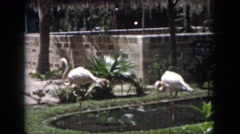 1958: pink flamingos are resting at a private pond located at a park or zoo  Stock Footage