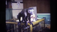 1973: monkey on a cage with a doll MEDFORD NEW JERSEY Stock Footage