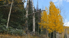 Wind blows autumn aspen leaves as it starts to lightly snow Stock Footage