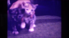 1973: two kittens playing with a child, while an adult cat watches MEDFORD  Stock Footage