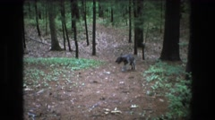1975: dog walking through the forest. BAXTER MAINE Stock Footage