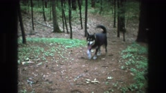 1975: a black stout dog is walking through the forest BAXTER MAINE Stock Footage