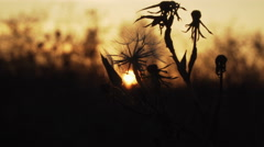 The contours of dried grass and flowers on sunset background Stock Footage
