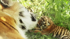 Tigress and blind cub Stock Footage