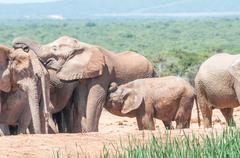 Elephant calf suckling Stock Photos