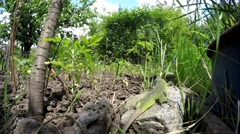Lizard in the grass. The summer grass. Lizard hunting in the grass. Stock Footage