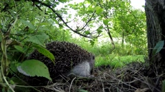 Hedgehog in the forest. Stock Footage