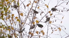 Huge flock of birds sitting on winter dry tree bare branches. Slow Motion. Stock Footage