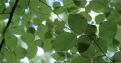 Beech leaves - full frame background nature texture Stock Footage