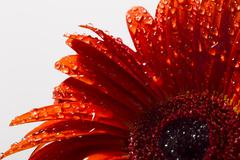 Orange gerbera with water drops on a white background Stock Photos